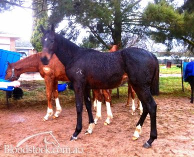 Gods Own x Devalia 2011 filly  23.8.12