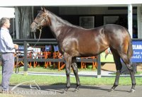 Denman x Quilt Filly at the Easter Inglis Sale
