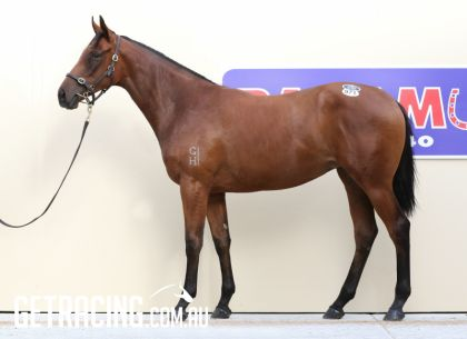 Lot 971 MM Yearling Sale (Gold Coast)