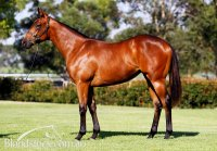 Not A Single Doubt x Negotiate Filly Conformation