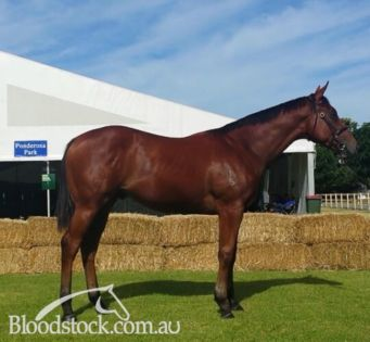 Magic millions Adelaide  lot 378