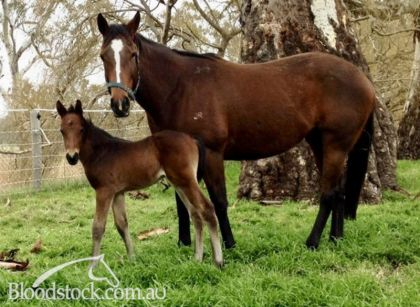 Van Welbilt with her Dalakhani colt (colt not for sale)